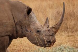 Magnificent rhino. (Photo credit: Fortunate M. Phaka)