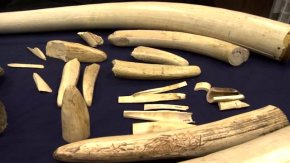 NC Zoo to burn nearly $1M worth of ivory, horns to raise awareness of plight of elephants, rhinos