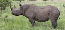 EIA: Why a legal trade in rhino horn won'twork